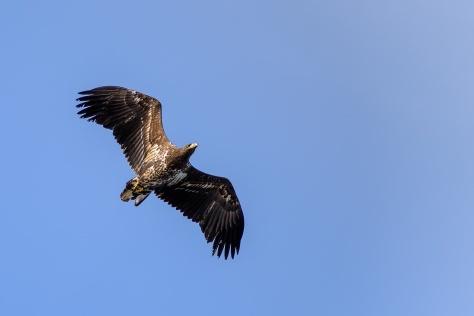 lofoten-eagle